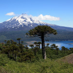 Vacationing in Pucón Chile and an introduction to monkey puzzle trees
